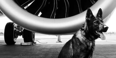 Deutscher Schäferhund vor einer Flugzeugturbine