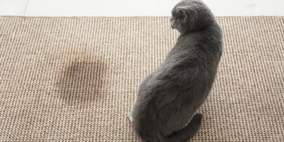What is the best way to remove the smell of cat pee?
