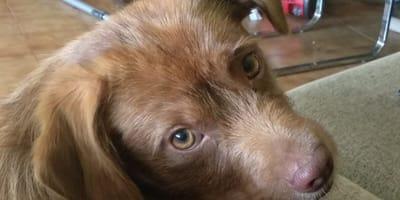 brown terrier cross with honey eyes