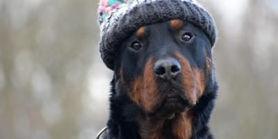 rottweiler with knit hat on head