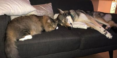 Tamaskan picks out favourite kitten from shelter and now the two are best friends