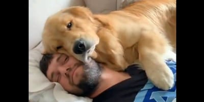Każdy opiekun psa marzy o pobudce, jaką ten golden retriever przygotował swojemu panu (VIDEO)