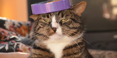 gato fastidiado con una cinta en la cabeza