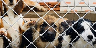 cani-dietro-una-recinzione