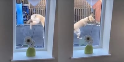 Montage of youtube video showing dog on trampoline