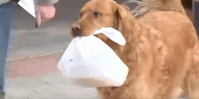 Ten golden retriever dostarcza zakupy do domu w czasie kwarantanny (VIDEO)