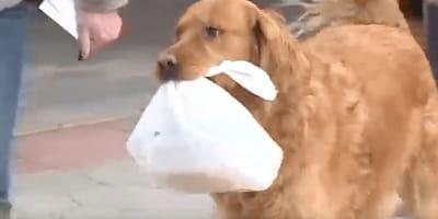 Ten golden retriever dostarcza zakupy do domu w czasie kwarantanny (VIDEO)