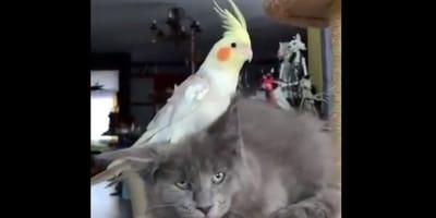 Kot z papuga na głowie