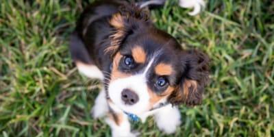 cucciolo-di-King Charles Spaniel-sull-erba