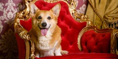 Queen's corgi dog