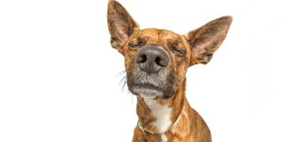 enfermedades que detectan los perros