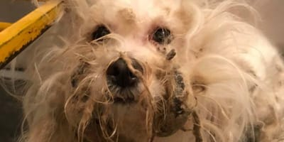 white dog with matted fur