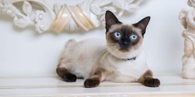 gatto-Manx-senza-coda