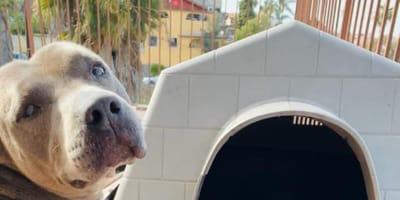 Gata a punto de parir invade la casita del pitbull: la reacción del perro nos deja sin palabras