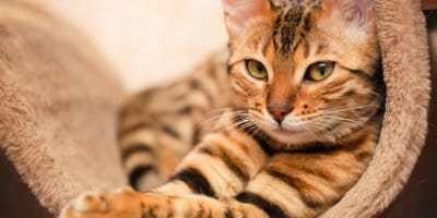 Las 5 razas de gatos más caras del mundo