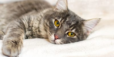 Conjunctivitis in cats: signs, causes and treatment
