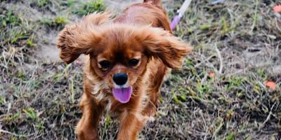 cagnolino-marrone-a-passeggio