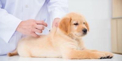 golden retriever puppy getting vaccine