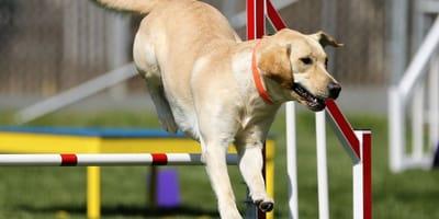 Shaping nel cane, tecnica di addestramento per comandi complessi