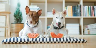 Czy pies może jeść arbuza? Czy jest to dla niego zdrowe?