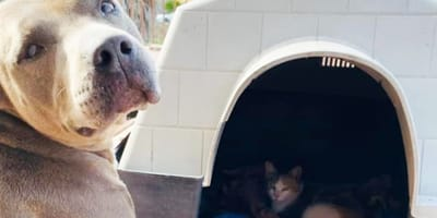 pitbull in front of doghouse with cat inside