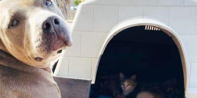 Ten niezwykły gest pitbulla wobec ciężarnej kotki chwyci Was za serce!