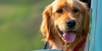 What to do if your dog is in a car accident