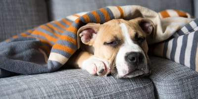 Irritable bowel syndrome in dogs