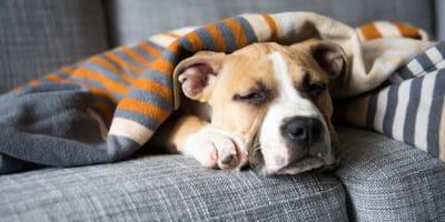 Pitbull dog poorly under a blanket