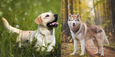 labrador in grass and husky in forest