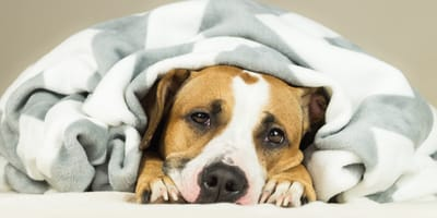Abdominal pain in dogs