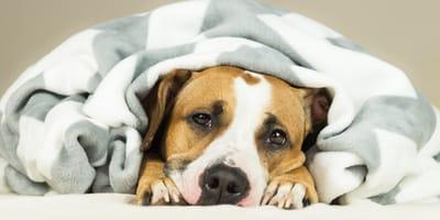 Pitbull dog under a blanket