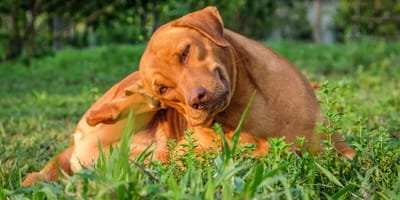 Mange in dogs: signs, symptoms and treatment