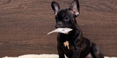 Black French Bulldog with dollar note in his mouth
