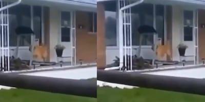 golden retriever video viral
