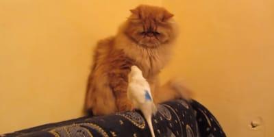 Este gato persa se merece un premio por aguantar al pesado de su amigo el periquito (Vídeo)