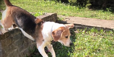 beagle george