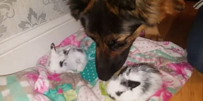 german shepherd sniffing black and white rabbits on a blanket