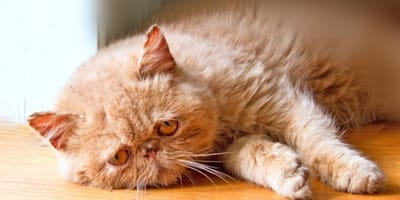 gato deprimido