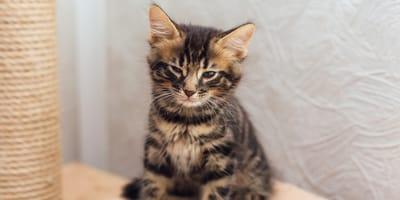 Top  5: las razas de gato más caras del mundo