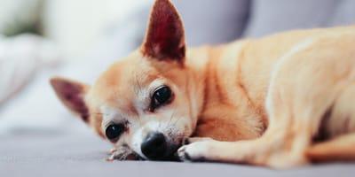Znajduje porzuconego chihuahua. Kiedy weterynarz skanuje chip psa, nie wierzy własnym oczom!