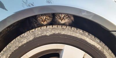 Gatos en llanta de automovil