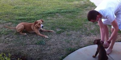 uomo-con-un-cane-adulto-e-un-cucciolo-di-dobermann