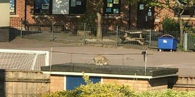 Amateur footage of wildcat on garage roof