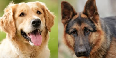 Golden retriever and german shepherd