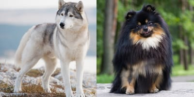 gray husky and black pomeranian
