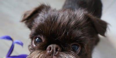Gdzie chodzisz do barbera? Poznajcie psa, którego broda wzbudza zazdrość hipsterów
