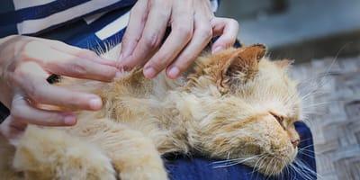 Pulci nel gatto: come eliminarle e come prevenirle