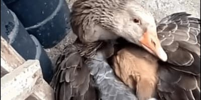 <p>Gęś objęła szczenię, aby je ogrzać, niczym własne dziecko</p>