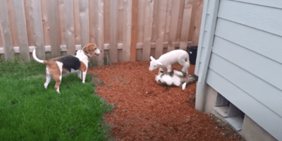 cat lamb and beagle play together